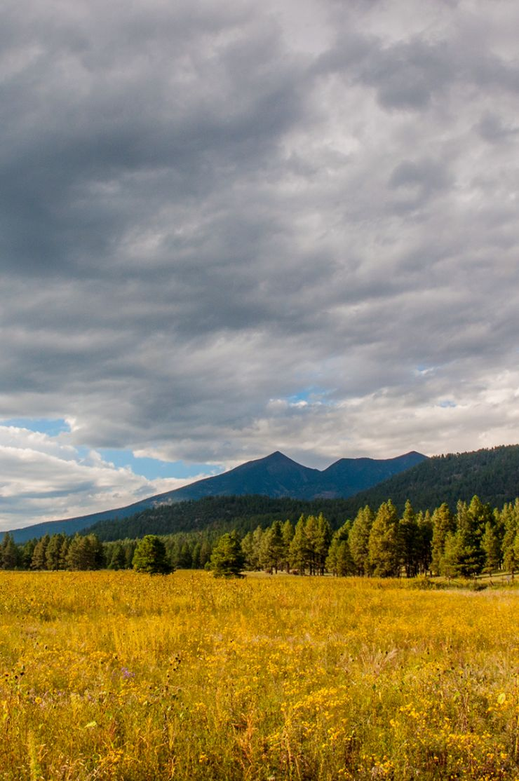 View of the San Francisco Peaks with sunflowers in foreground